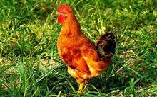 农家乐放养地鸡