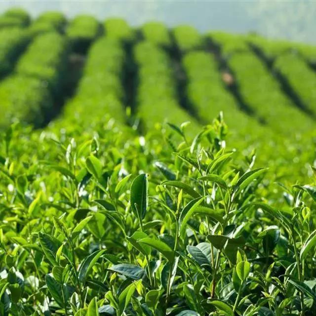 甘泉山茶业